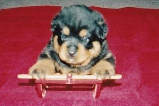 Pup on Sled 2