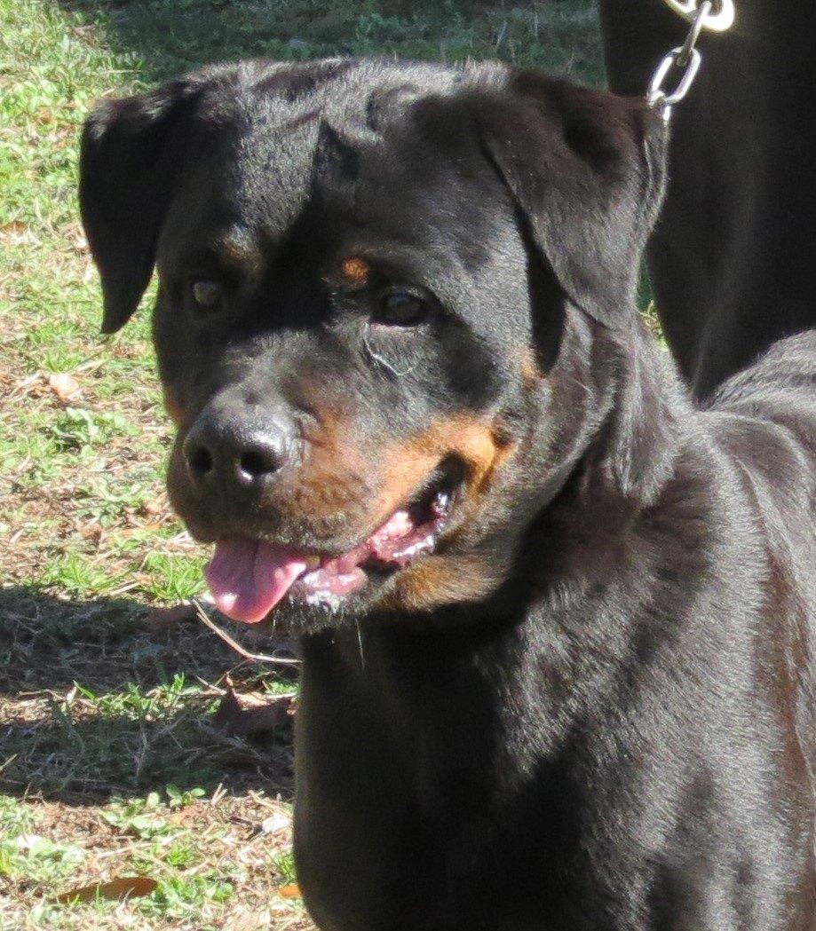 Von Warterr Rottweilers German Rottweiler Puppies For Sale